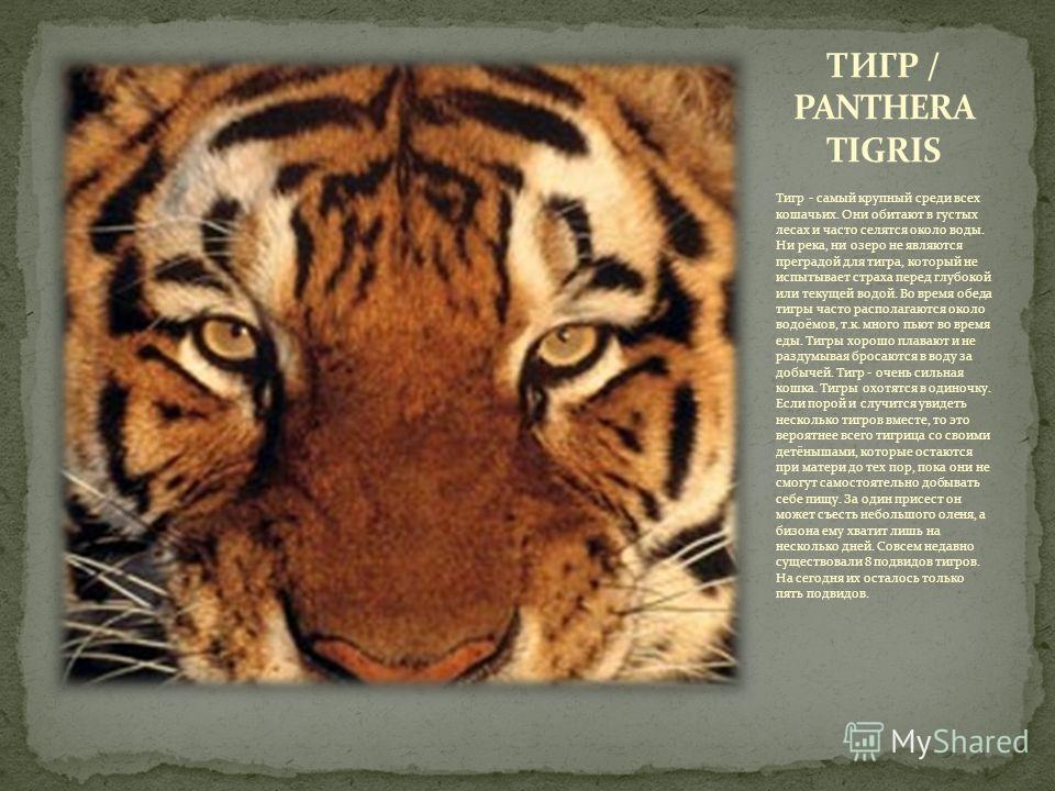 Тигр - самый крупный среди всех кошачьих. Они обитают в густых лесах и часто селятся около воды. Ни река, ни озеро не являются преградой для тигра, который не испытывает страха перед глубокой или текущей водой. Во время обеда тигры часто располагаютс