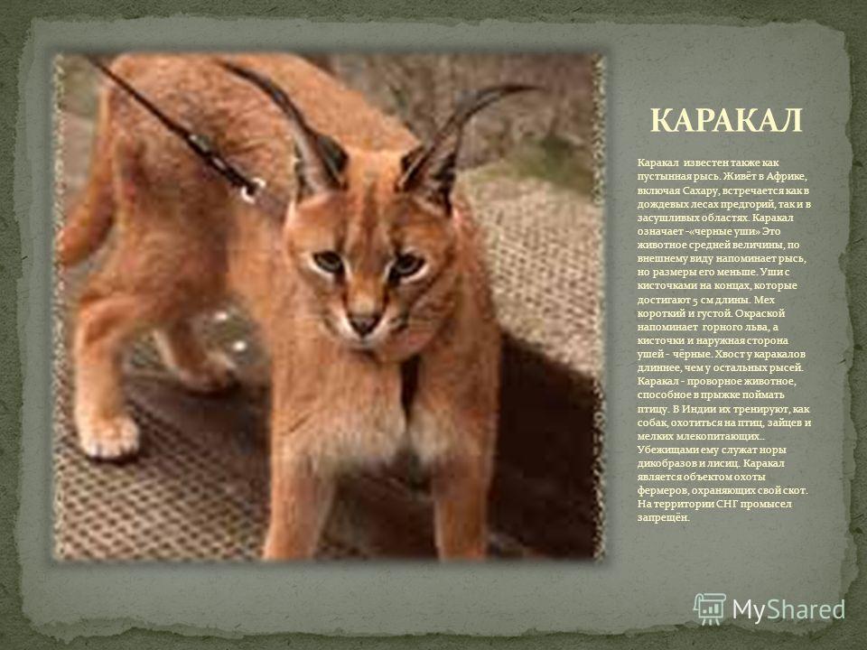Каракал известен также как пустынная рысь. Живёт в Африке, включая Сахару, встречается как в дождевых лесах предгорий, так и в засушливых областях. Каракал означает -«черные уши» Это животное средней величины, по внешнему виду напоминает рысь, но раз
