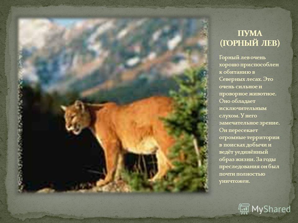 Горный лев очень хорошо приспособлен к обитанию в Северных лесах. Это очень сильное и проворное животное. Оно обладает исключительным слухом. У него замечательное зрение. Он пересекает огромные территории в поисках добычи и ведёт уединённый образ жиз