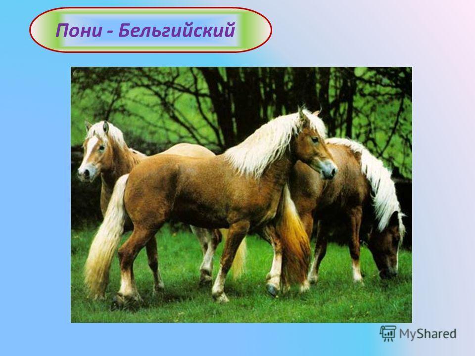 Пони - Бельгийский