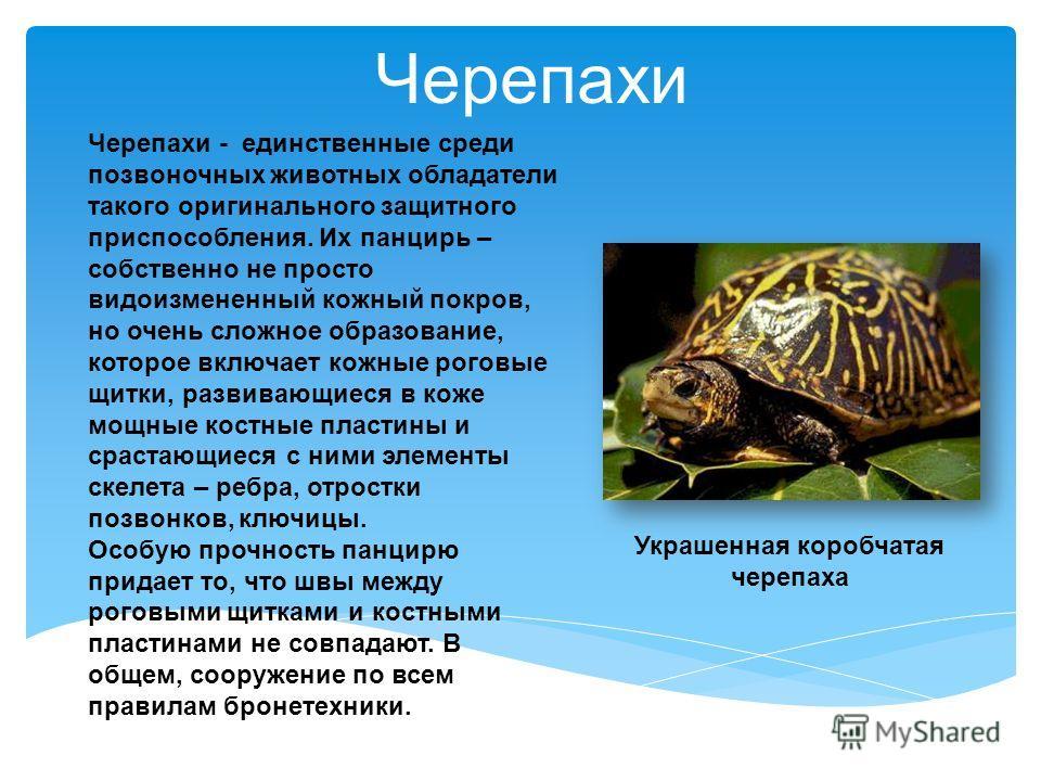 Черепахи - единственные среди позвоночных животных обладатели такого оригинального защитного приспособления. Их панцирь – собственно не просто видоизмененный кожный покров, но очень сложное образование, которое включает кожные роговые щитки, развиваю