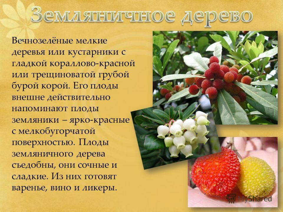 Вечнозелёные мелкие деревья или кустарники с гладкой кораллово-красной или трещиноватой грубой бурой корой. Его плоды внешне действительно напоминают плоды земляники – ярко-красные с мелкобугорчатой поверхностью. Плоды земляничного дерева съедобны, о