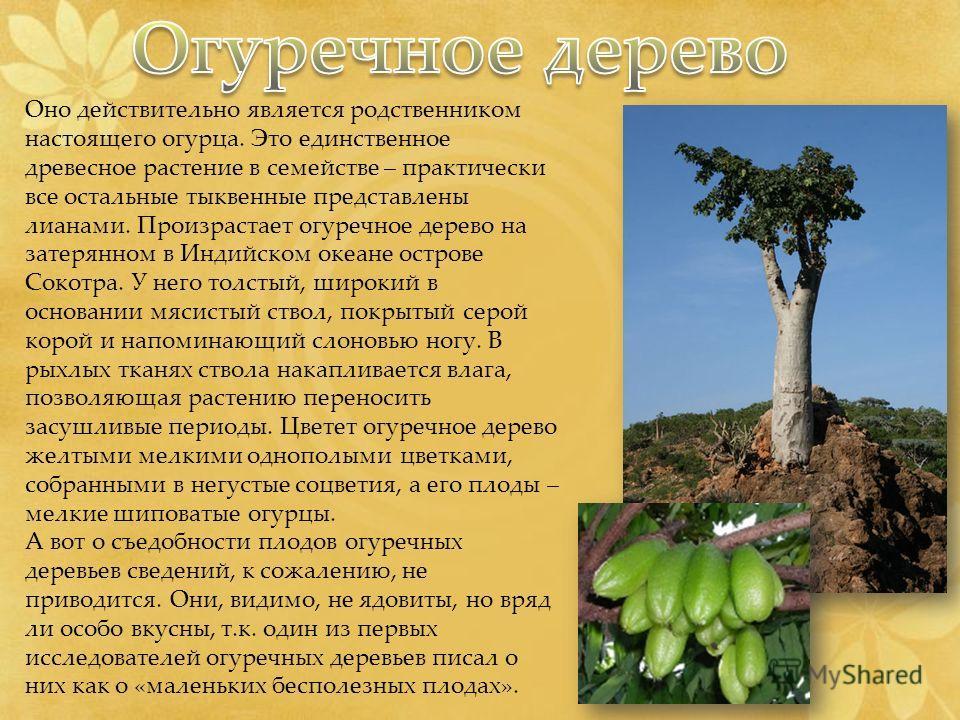 Оно действительно является родственником настоящего огурца. Это единственное древесное растение в семействе – практически все остальные тыквенные представлены лианами. Произрастает огуречное дерево на затерянном в Индийском океане острове Сокотра. У
