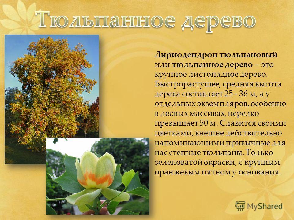 Лириодендрон тюльпановый или тюльпанное дерево – это крупное листопадное дерево. Быстрорастущее, средняя высота дерева составляет 25 - 36 м, а у отдельных экземпляров, особенно в лесных массивах, нередко превышает 50 м. Славится своими цветками, внеш