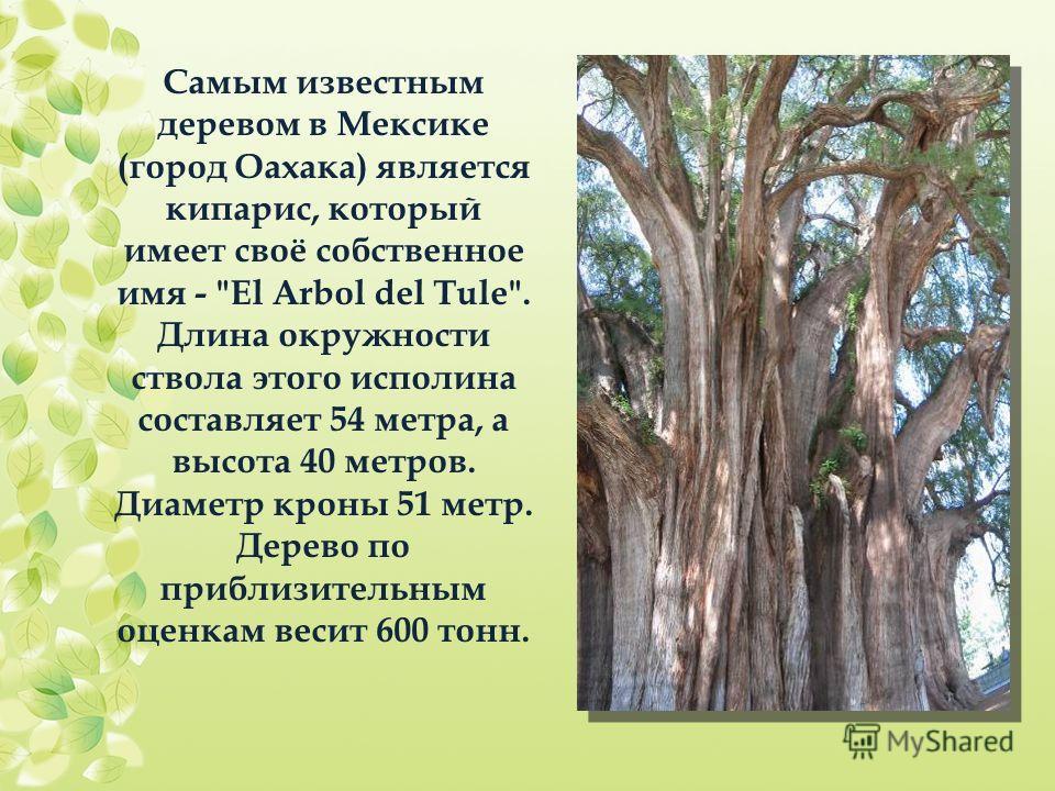 Самым известным деревом в Мексике (город Оахака) является кипарис, который имеет своё собственное имя -