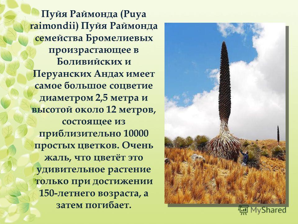 Пуйя Раймонда (Puya raimondii) Пуйя Раймонда семейства Бромелиевых произрастающее в Боливийских и Перуанских Андах имеет самое большое соцветие диаметром 2,5 метра и высотой около 12 метров, состоящее из приблизительно 10000 простых цветков. Очень жа