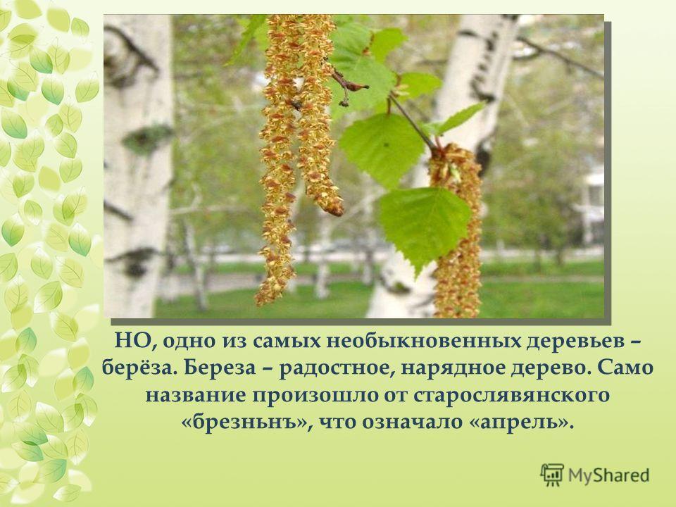 НО, одно из самых необыкновенных деревьев – берёза. Береза – радостное, нарядное дерево. Само название произошло от старослявянского «брезньнъ», что означало «апрель».