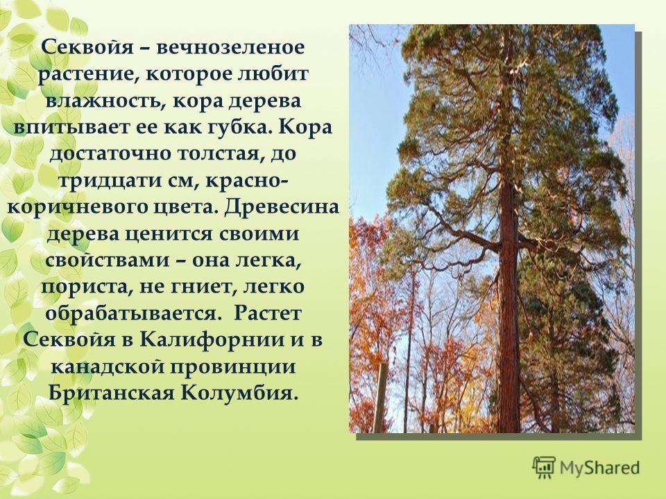 Секвойя – вечнозеленое растение, которое любит влажность, кора дерева впитывает ее как губка. Кора достаточно толстая, до тридцати см, красно- коричневого цвета. Древесина дерева ценится своими свойствами – она легка, пориста, не гниет, легко обрабат