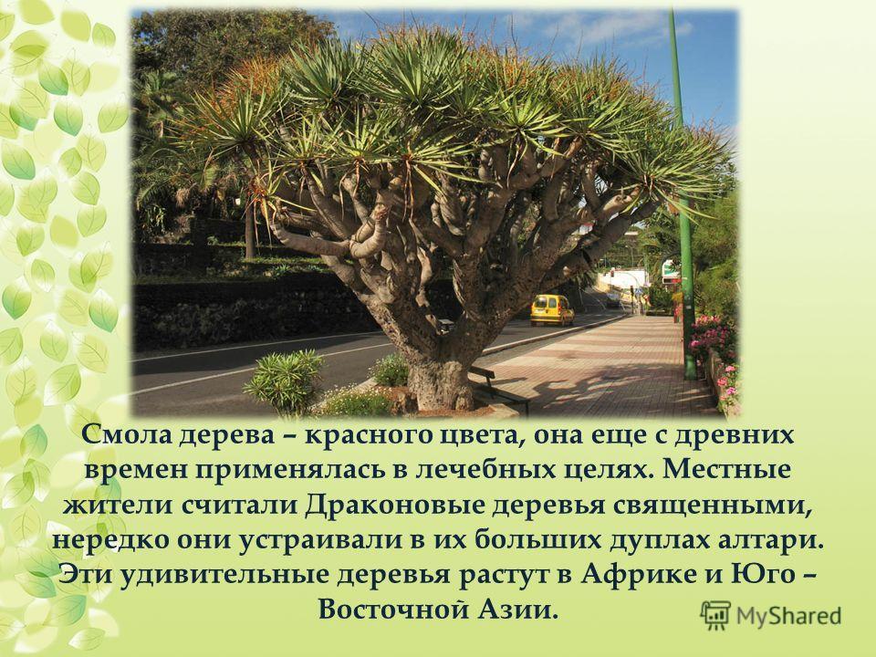 Смола дерева – красного цвета, она еще с древних времен применялась в лечебных целях. Местные жители считали Драконовые деревья священными, нередко они устраивали в их больших дуплах алтари. Эти удивительные деревья растут в Африке и Юго – Восточной