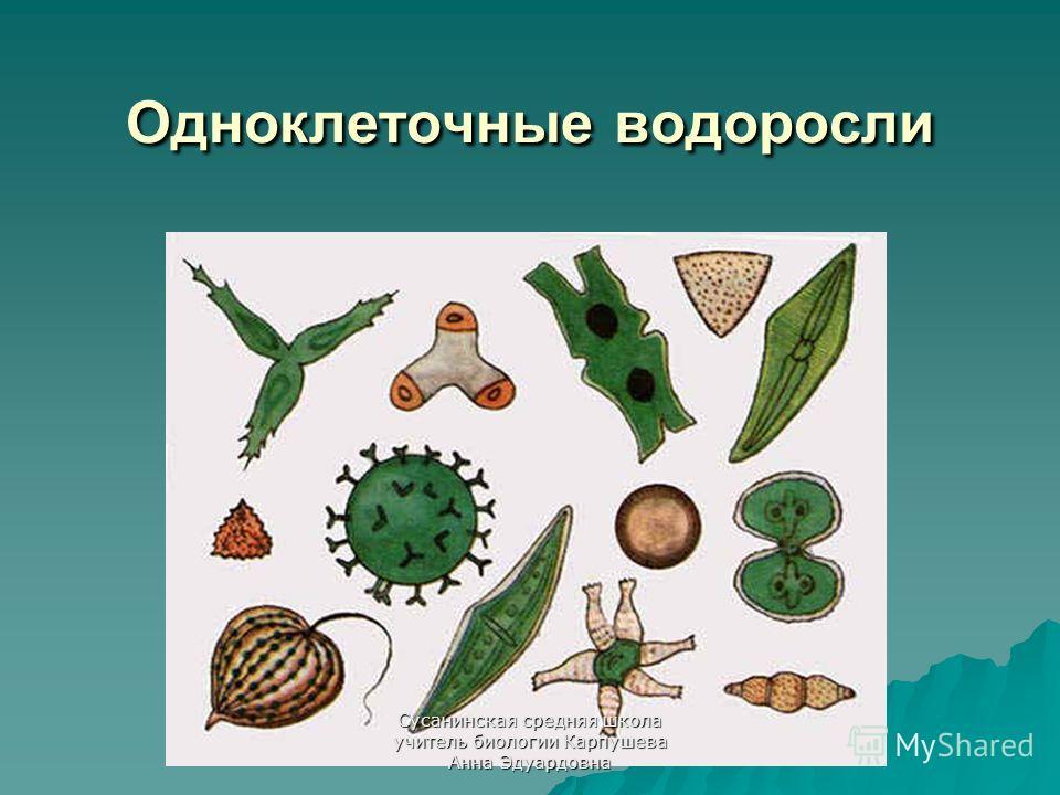 Одноклеточные водоросли Сусанинская средняя школа учитель биологии Карпушева Анна Эдуардовна