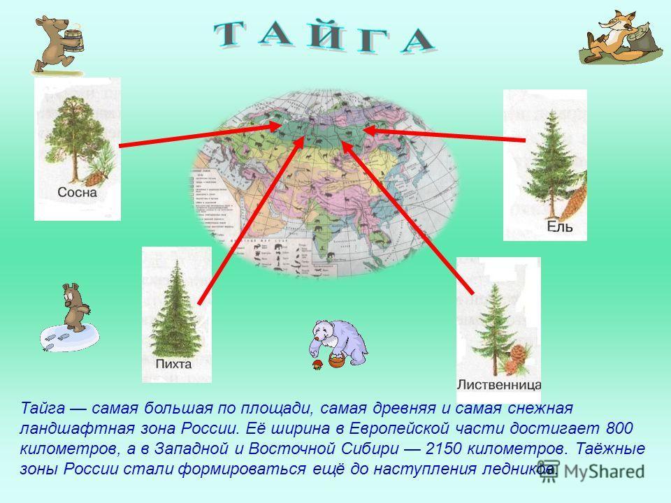 Тайга самая большая по площади, самая древняя и самая снежная ландшафтная зона России. Её ширина в Европейской части достигает 800 километров, а в Западной и Восточной Сибири 2150 километров. Таёжные зоны России стали формироваться ещё до наступления
