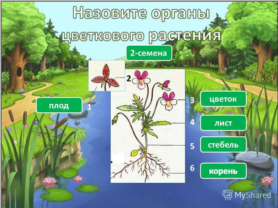 6 1 2 3 4 5 6 плод 2-семена цветок лист стебель