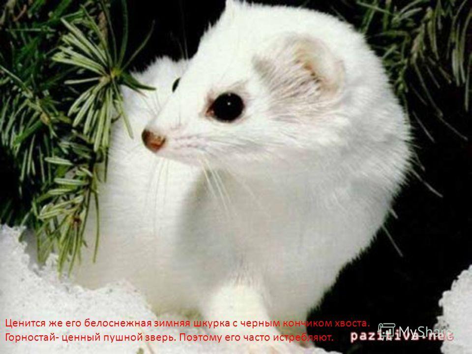 Ценится же его белоснежная зимняя шкурка с черным кончиком хвоста. Горностай- ценный пушной зверь. Поэтому его часто истребляют.