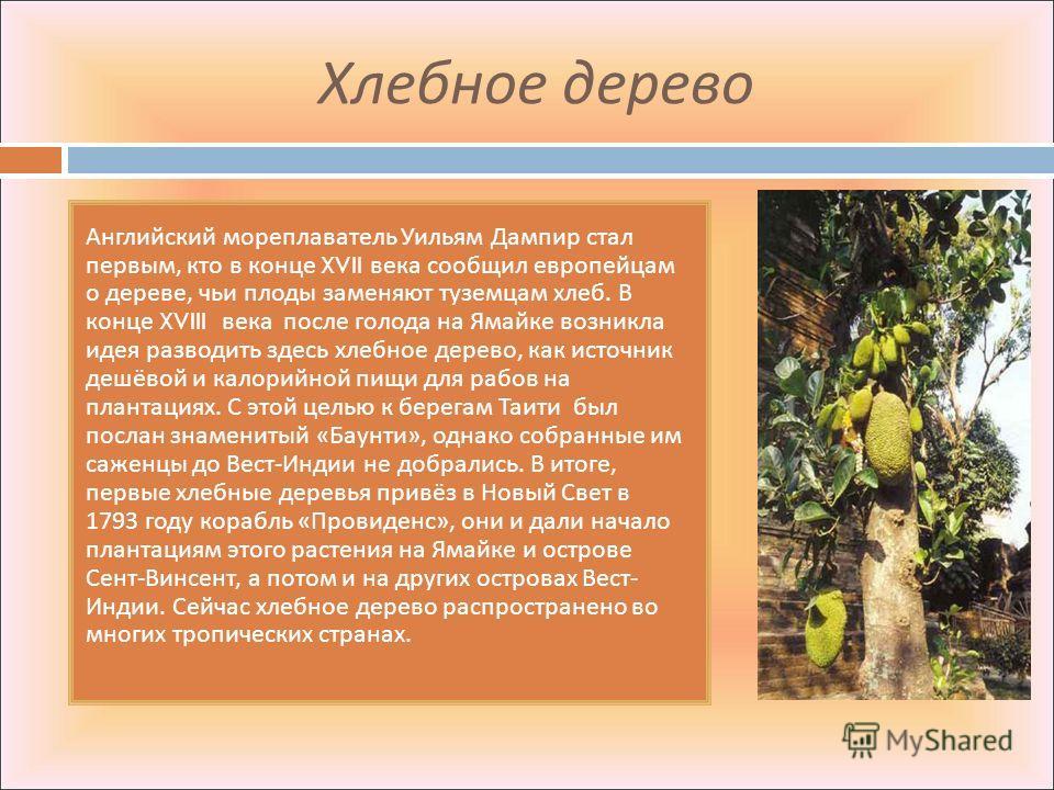 Хлебное дерево Английский мореплаватель Уильям Дампир стал первым, кто в конце XVII века сообщил европейцам о дереве, чьи плоды заменяют туземцам хлеб. В конце XVIII века после голода на Ямайке возникла идея разводить здесь хлебное дерево, как источн