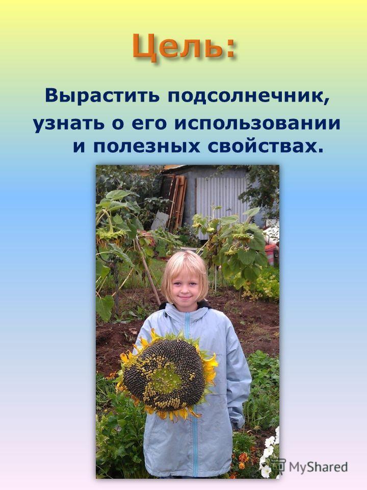 Вырастить подсолнечник, узнать о его использовании и полезных свойствах.