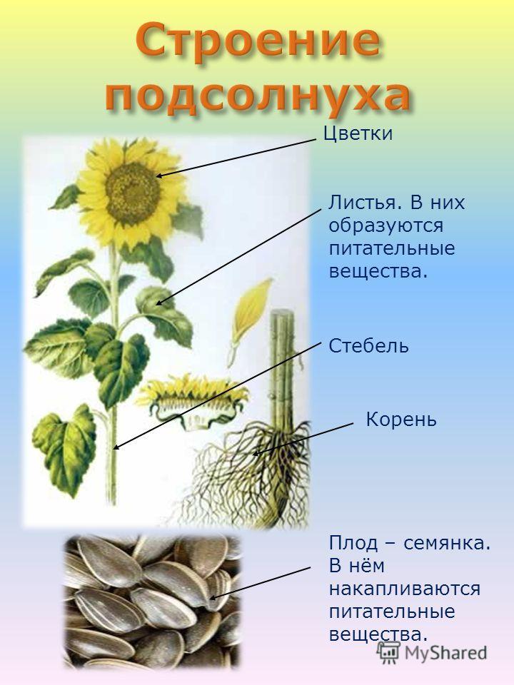 Цветки Листья. В них образуются питательные вещества. Стебель Корень Плод – семянка. В нём накапливаются питательные вещества.