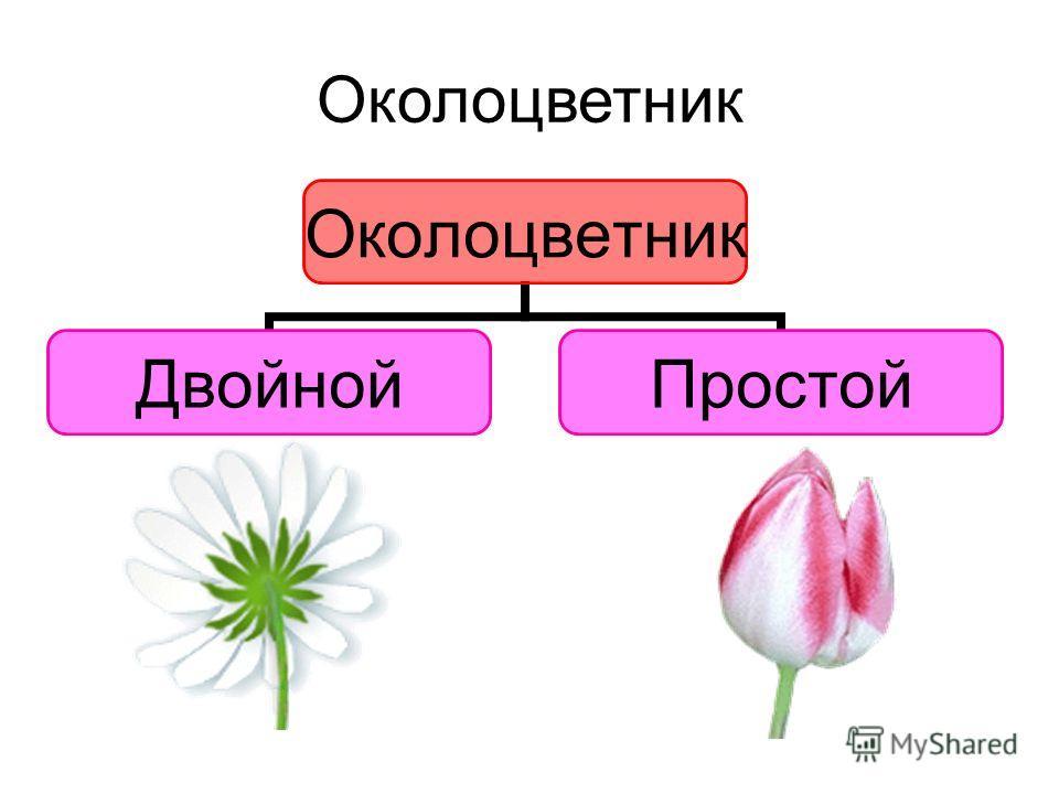 Околоцветник ДвойнойПростой