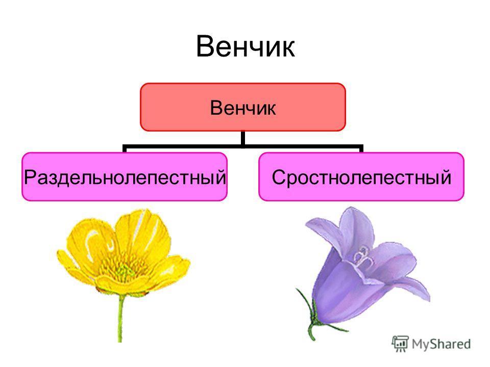 Венчик РаздельнолепестныйСростнолепестный