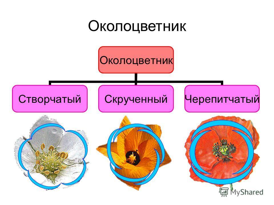 Околоцветник СтворчатыйСкрученныйЧерепитчатый