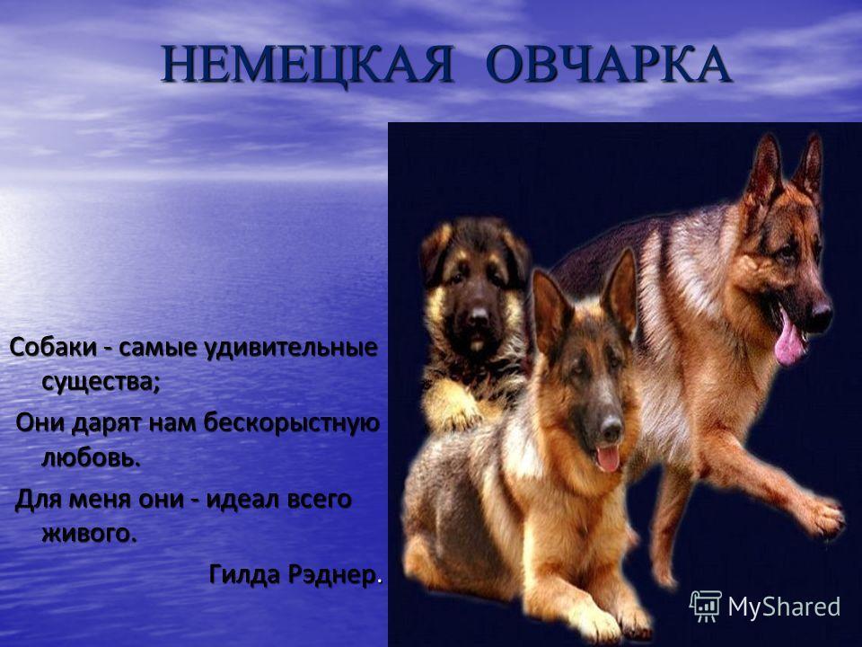 НЕМЕЦКАЯ ОВЧАРКА НЕМЕЦКАЯ ОВЧАРКА Собаки - самые удивительные существа; Они дарят нам бескорыстную любовь. Они дарят нам бескорыстную любовь. Для меня они - идеал всего живого. Для меня они - идеал всего живого. Гилда Рэднер. Гилда Рэднер.