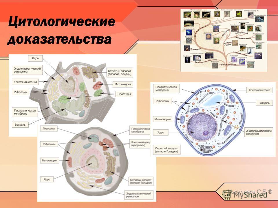 Цитологические доказательства Николаева С.Б. ®