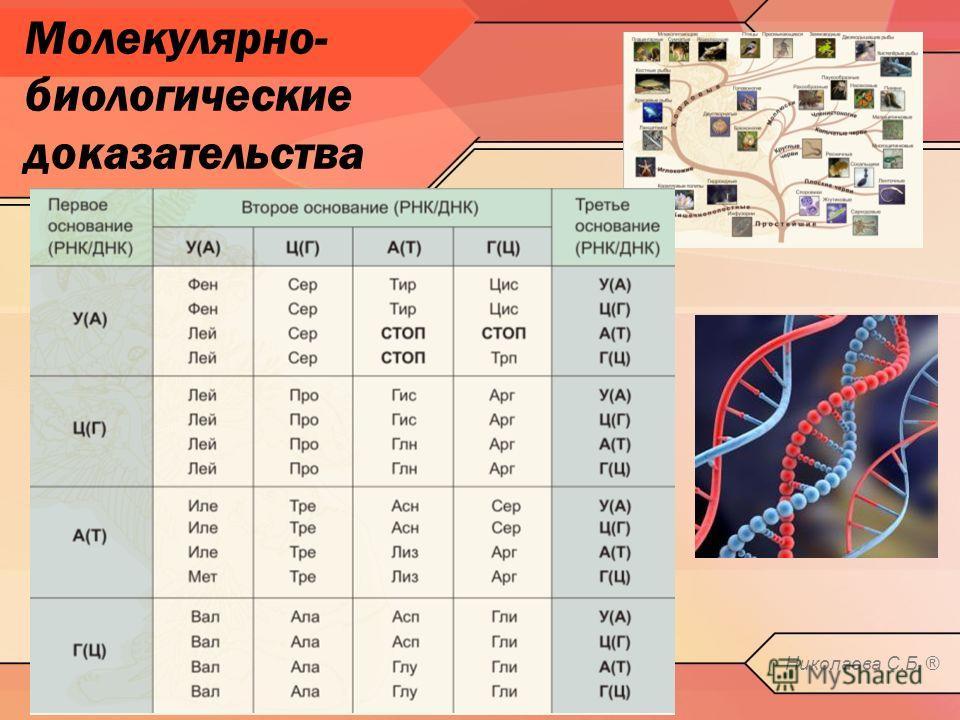 Молекулярно- биологические доказательства Николаева С.Б. ®