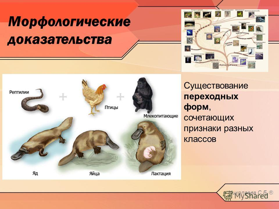 Морфологические доказательства Органы, утратившие в процессе эволюции свое значение – рудименты Николаева С.Б. ®