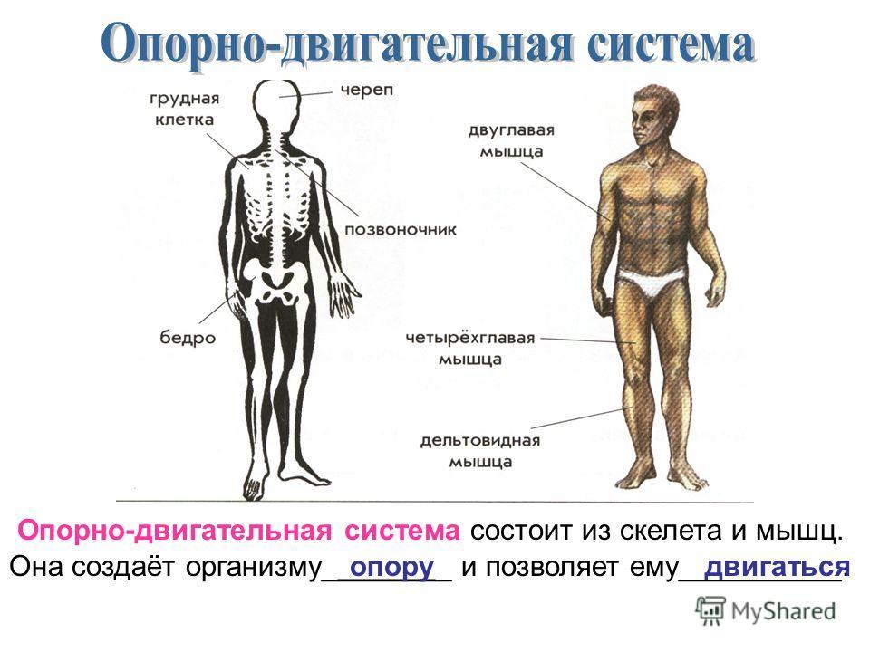 Опорно-двигательная система состоит из скелета и мышц. Она создаёт организму________ и позволяет ему__________.опорудвигаться