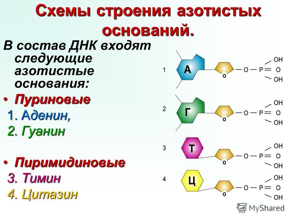 Схемы строения азотистых оснований. В состав ДНК входят следующие азотистые основания: ПуриновыеПуриновые 1. Аденин, 2. Гуанин ПиримидиновыеПиримидиновые 3. Тимин 4. Цитазин