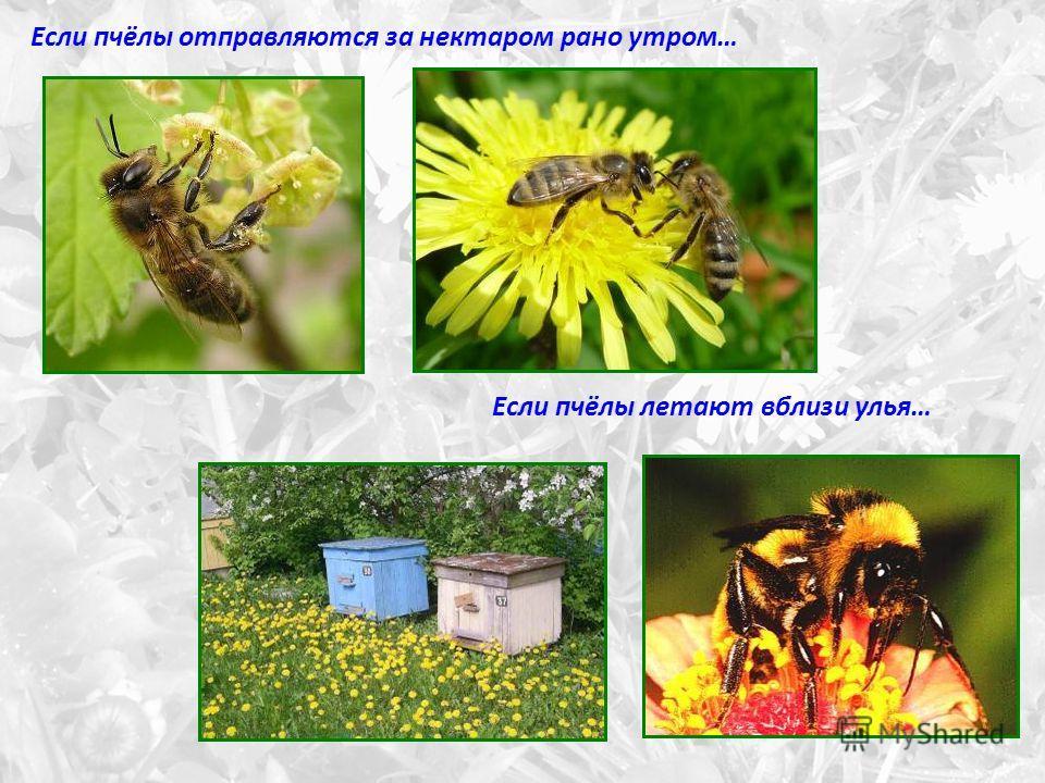 Если пчёлы отправляются за нектаром рано утром… Если пчёлы летают вблизи улья…