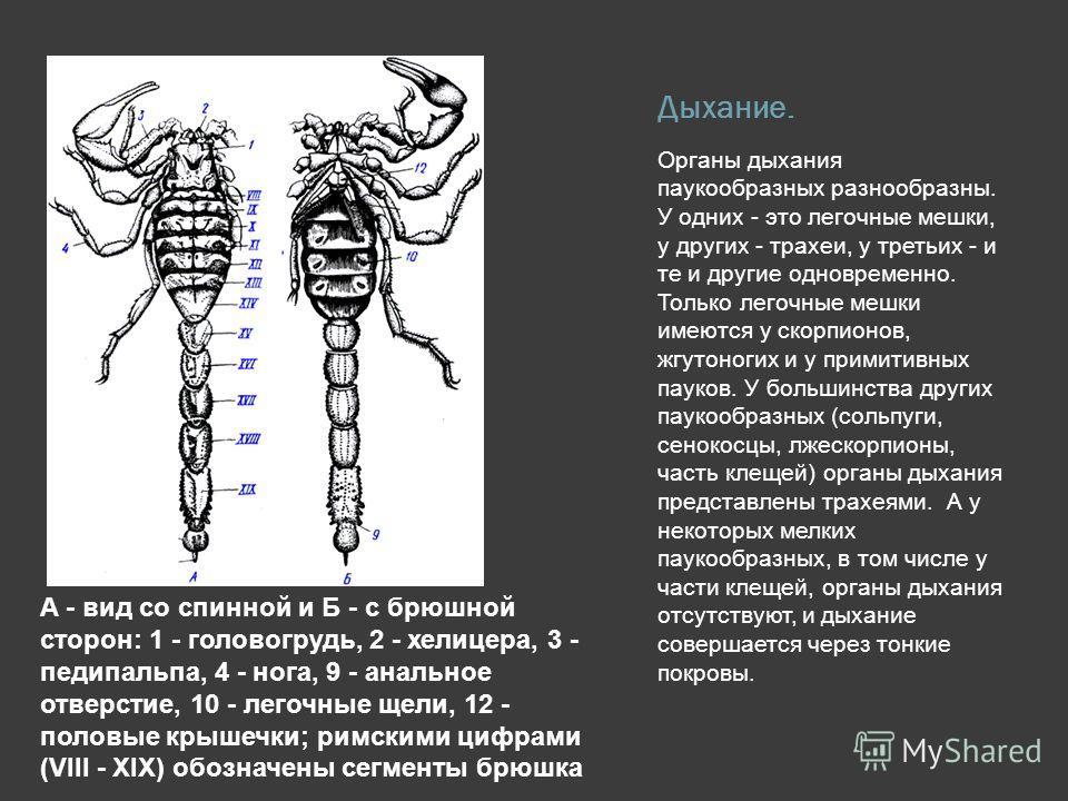 Дыхание. Органы дыхания паукообразных разнообразны. У одних - это легочные мешки, у других - трахеи, у третьих - и те и другие одновременно. Только легочные мешки имеются у скорпионов, жгутоногих и у примитивных пауков. У большинства других паукообра
