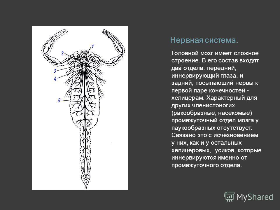 Нервная система. Головной мозг имеет сложное строение. В его состав входят два отдела: передний, иннервирующий глаза, и задний, посылающий нервы к первой паре конечностей - хелицерам. Характерный для других членистоногих (ракообразные, насекомые) про
