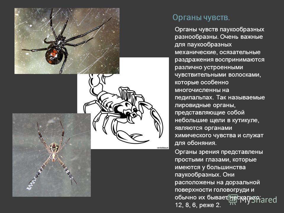 Органы чувств. Органы чувств паукообразных разнообразны. Очень важные для паукообразных механические, осязательные раздражения воспринимаются различно устроенными чувствительными волосками, которые особенно многочисленны на педипальпах. Так называемы