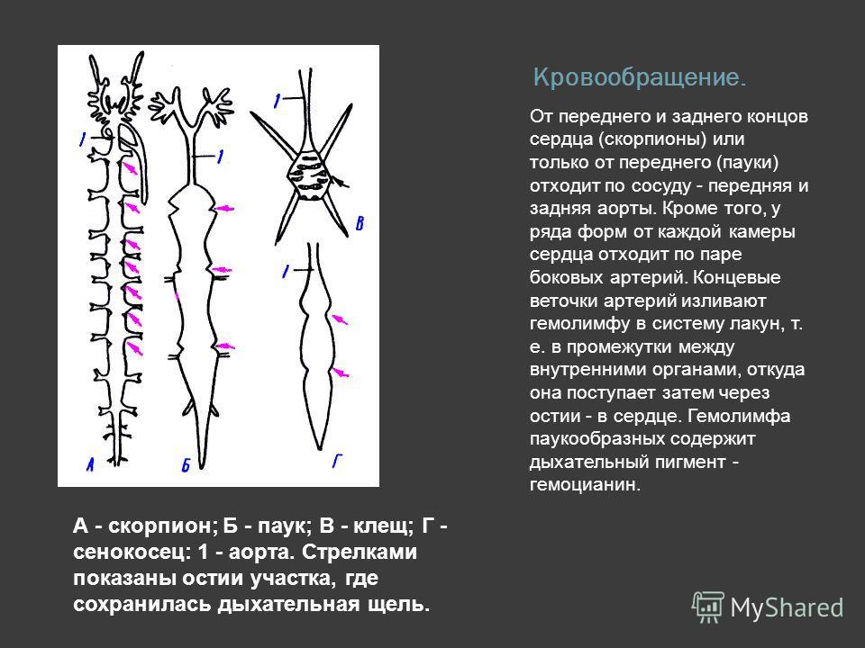 Кровообращение. От переднего и заднего концов сердца (скорпионы) или только от переднего (пауки) отходит по сосуду - передняя и задняя аорты. Кроме того, у ряда форм от каждой камеры сердца отходит по паре боковых артерий. Концевые веточки артерий из