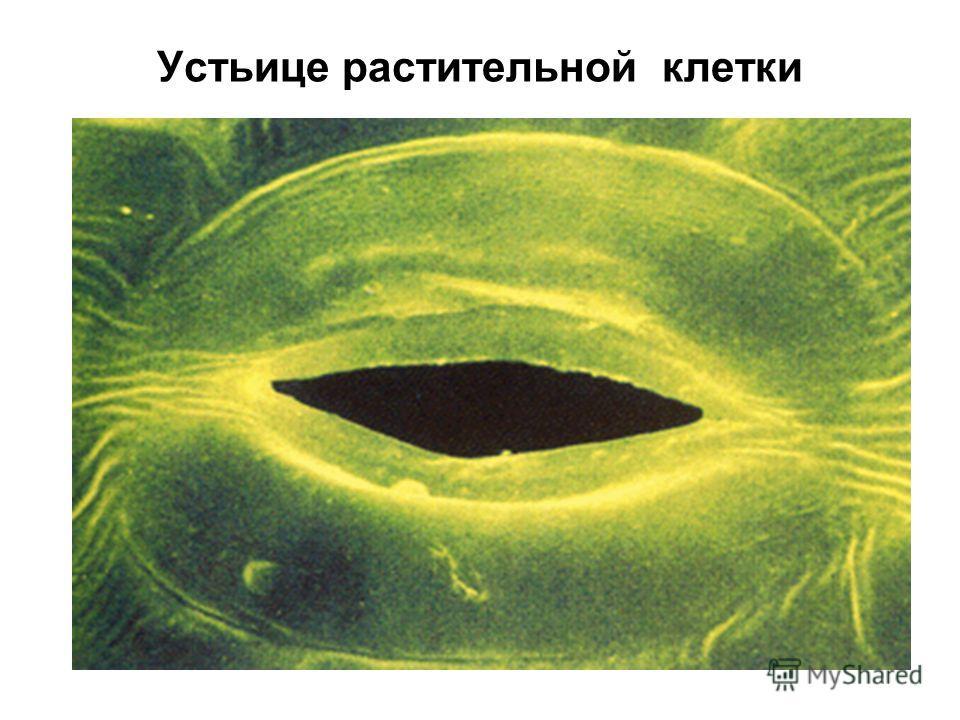 Устьице растительной клетки