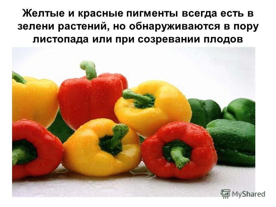 Желтые и красные пигменты всегда есть в зелени растений, но обнаруживаются в пору листопада или при созревании плодов