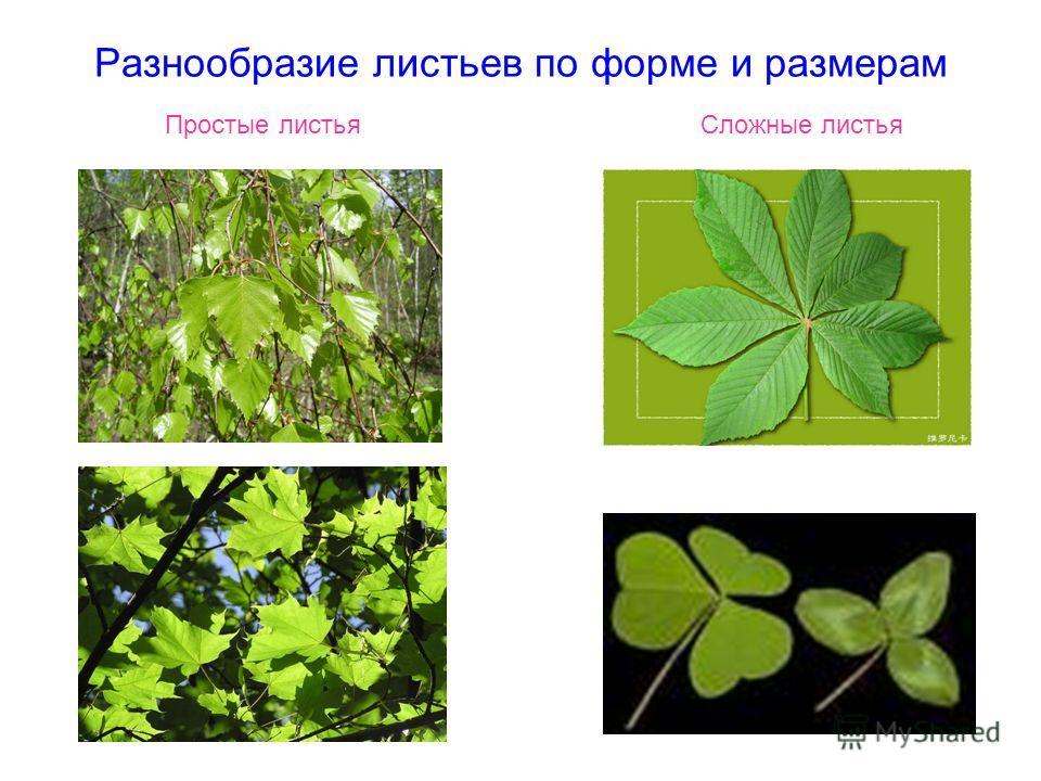 Разнообразие листьев по форме и размерам Простые листья Сложные листья