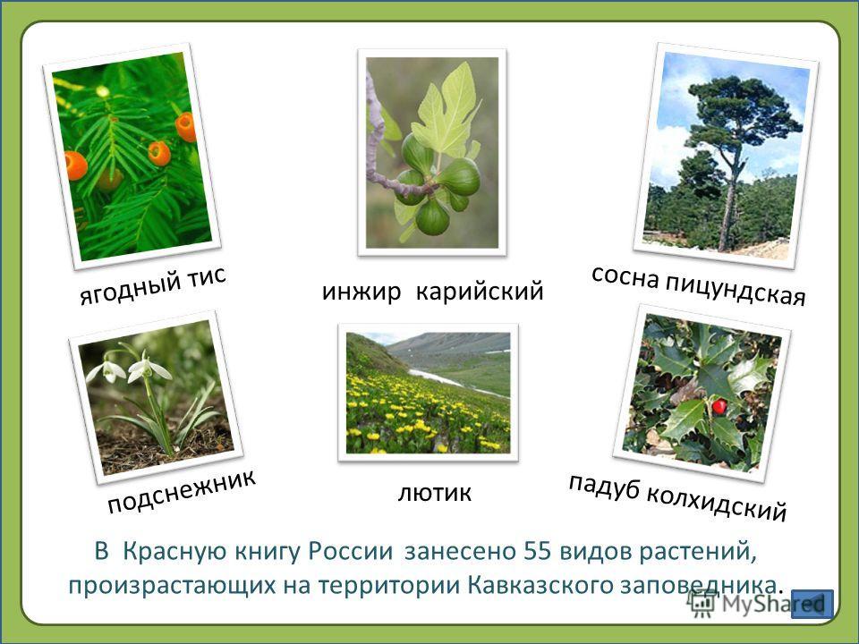 В Красную книгу России занесено 55 видов растений, произрастающих на территории Кавказского заповедника. подснежник сосна пицундская инжир карийский ягодный тис лютик падуб колхидский