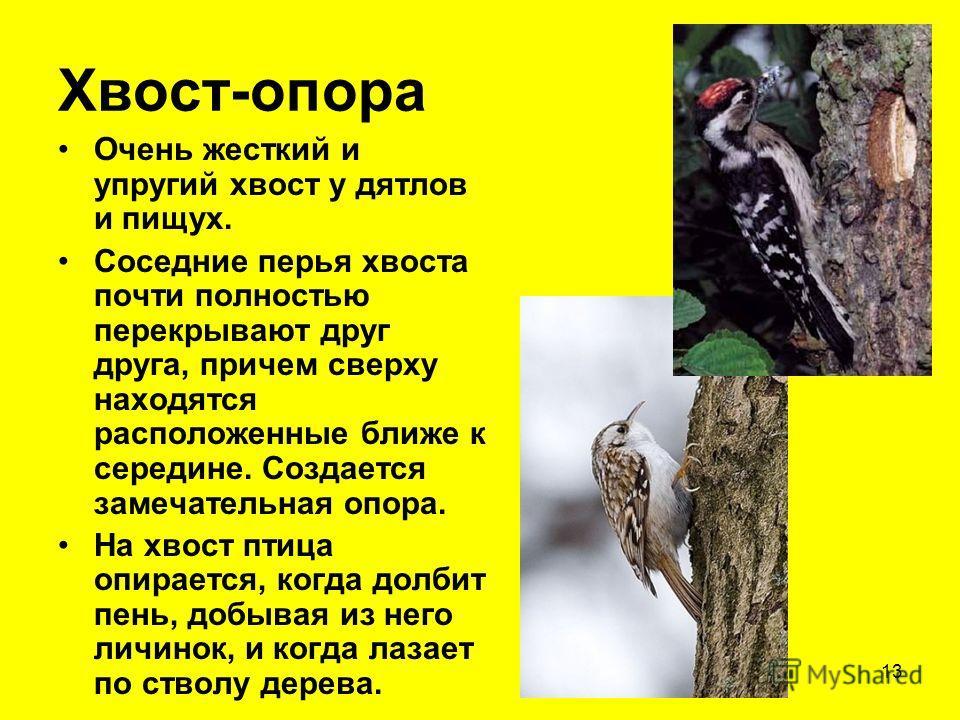 13 Хвост-опора Очень жесткий и упругий хвост у дятлов и пищух. Соседние перья хвоста почти полностью перекрывают друг друга, причем сверху находятся расположенные ближе к середине. Создается замечательная опора. На хвост птица опирается, когда долбит