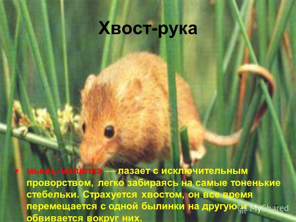 18 Хвост-рука мышь-малютка лазает с исключительным проворством, легко забираясь на самые тоненькие стебельки. Страхуется хвостом, он все время перемещается с одной былинки на другую и обвивается вокруг них.