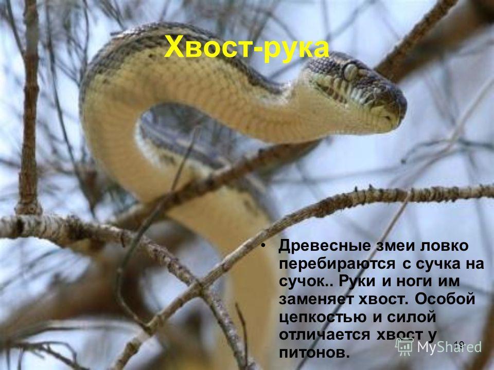 19 Хвост-рука Древесные змеи ловко перебираются с сучка на сучок.. Руки и ноги им заменяет хвост. Особой цепкостью и силой отличается хвост у питонов.