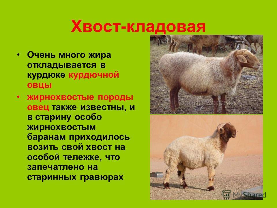 26 Хвост-кладовая Очень много жира откладывается в курдюке курдючной овцы жирнохвостые породы овец также известны, и в старину особо жирнохвостым баранам приходилось возить свой хвост на особой тележке, что запечатлено на старинных гравюрах