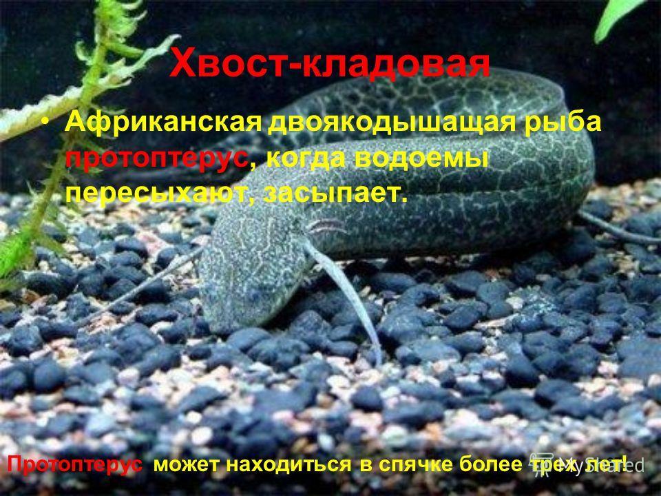 27 Хвост-кладовая Африканская двоякодышащая рыба протоптерус, когда водоемы пересыхают, засыпает. Протоптерус может находиться в спячке более трех лет!