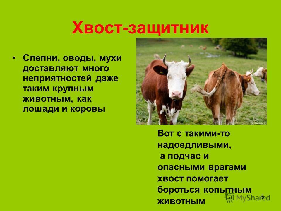 5 Хвост-защитник Слепни, оводы, мухи доставляют много неприятностей даже таким крупным животным, как лошади и коровы Вот с такими-то надоедливыми, а подчас и опасными врагами хвост помогает бороться копытным животным