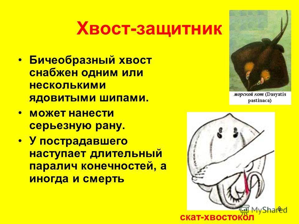 8 Хвост-защитник Бичеобразный хвост снабжен одним или несколькими ядовитыми шипами. может нанести серьезную рану. У пострадавшего наступает длительный паралич конечностей, а иногда и смерть скат-хвостокол