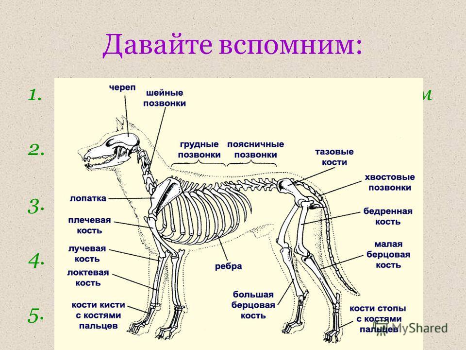 Давайте вспомним: 1.Какие виды скелета у животных вам известны? 2.Назовите отделы внутреннего скелета. 3.Назовите части осевого скелета, конечностей, поясов конечностей. 4.В чем преимущество внутреннего скелета? 5.Каковы основные функции скелета?