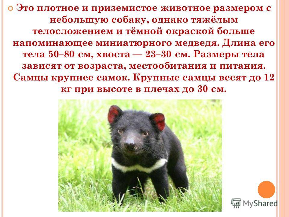 Это плотное и приземистое животное размером с небольшую собаку, однако тяжёлым телосложением и тёмной окраской больше напоминающее миниатюрного медведя. Длина его тела 50–80 см, хвоста 23–30 см. Размеры тела зависят от возраста, местообитания и питан