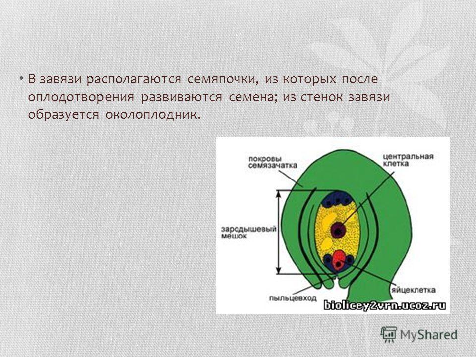 В завязи располагаются семяпочки, из которых после оплодотворения развиваются семена; из стенок завязи образуется околоплодник.