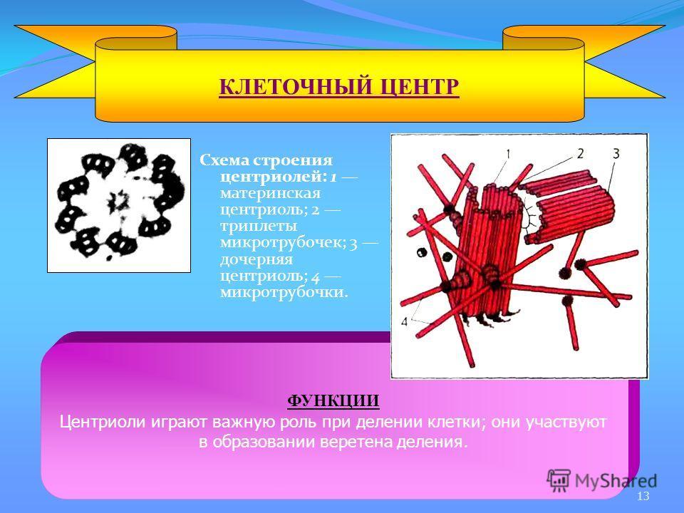 Схема строения центриолей: 1 материнская центриоль; 2 триплеты микротрубочек; 3 дочерняя центриоль; 4 микротрубочки. КЛЕТОЧНЫЙ ЦЕНТР ФУНКЦИИ Центриоли играют важную роль при делении клетки; они участвуют в образовании веретена деления. 13
