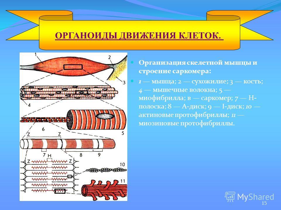 Организация скелетной мышцы и строение саркомера: 1 мышца; 2 сухожилие; 3 кость; 4 мышечные волокна; 5 миофибрилла; в саркомер; 7 Н- полоска; 8 А-диск; 9 I-диск; 10 актиновые протофибриллы; 11 миозиновые протофибриллы. ОРГАНОИДЫ ДВИЖЕНИЯ КЛЕТОК. 15